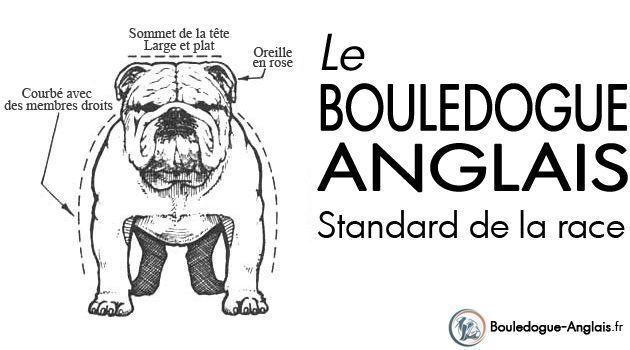 Bulldog anglais : le standard de la race - Bouledogue Anglais